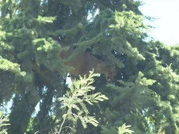 Rescatan a un puma que se había subido hasta la cima de un pino de 15 metros