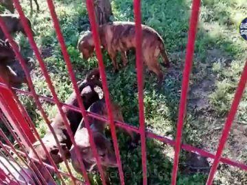 La Policía de Sevilla pide colaboración ciudadana para encontrar al autor del abandono de 18 perros de raza peligrosa en un parque infantil