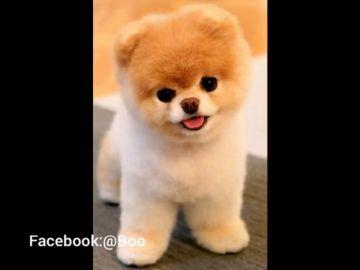 Muere Boo, el perro más bonito del mundo
