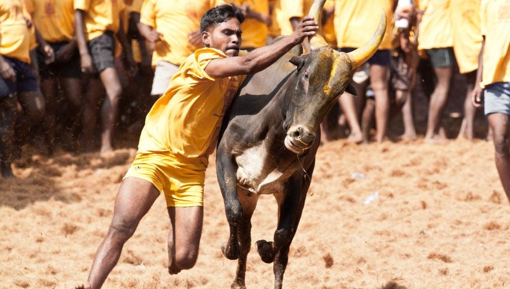 Festival de dominación de toros en la India