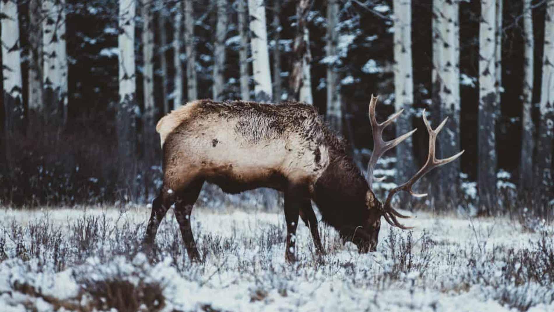 Un alce en la nieve (Archivo)