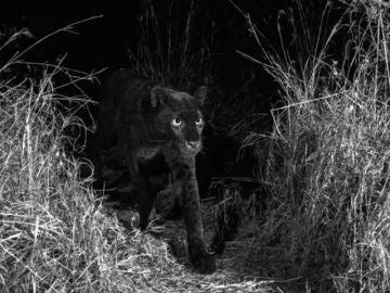 Fotografían por primera vez en 100 años a un leopardo negro