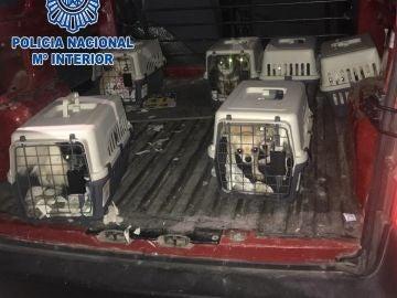 Desmantelan un criadero ilegal de chihuahuas