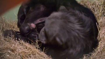Nacen dos mellizos de chimpancé en el Bioparc Valencia