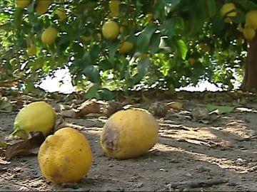 Los productores de limones se quejan de la competencia turca