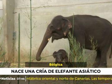 La adorable cría de elefante asiático que ha nacido en el zoo de Bélgica