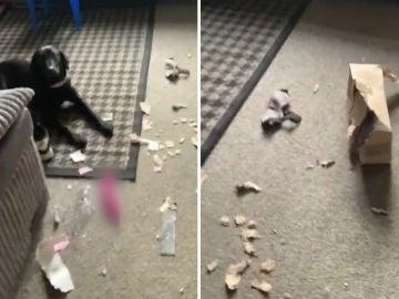 Perro roba juguete sexual