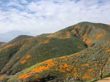 El superflorecimiento de amapolas naranjas deja este espectacular paisaje en California