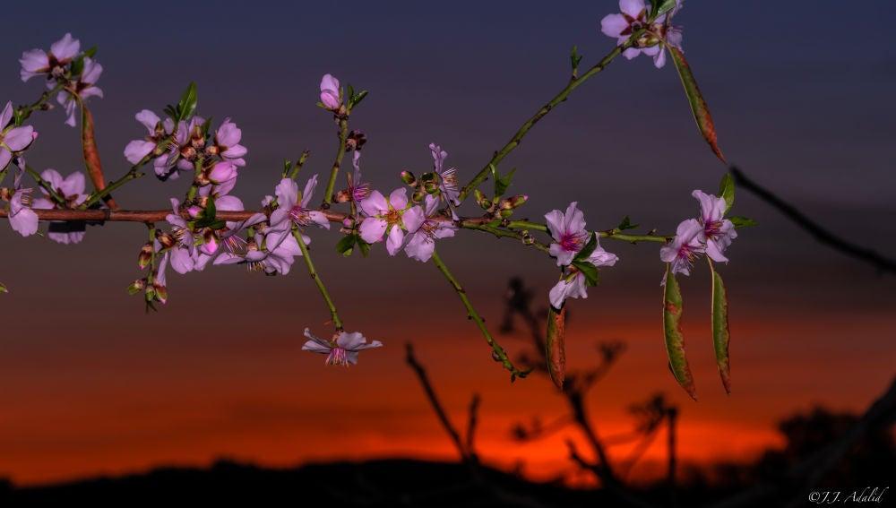 Los almendros florecidos durante el ocaso