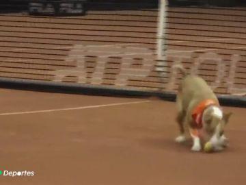 La imagen más tierna del fin de semana: los perros recopelotas que conquistan el Abierto de Sao Paulo
