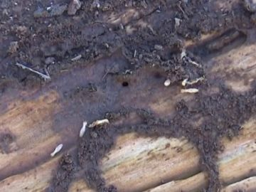 Denuncian ante la Fiscalía pasividad con la plaga de termitas