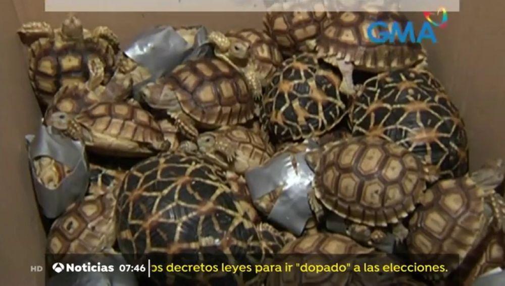 Tortugas incautadas en el aeropuerto de Manila.