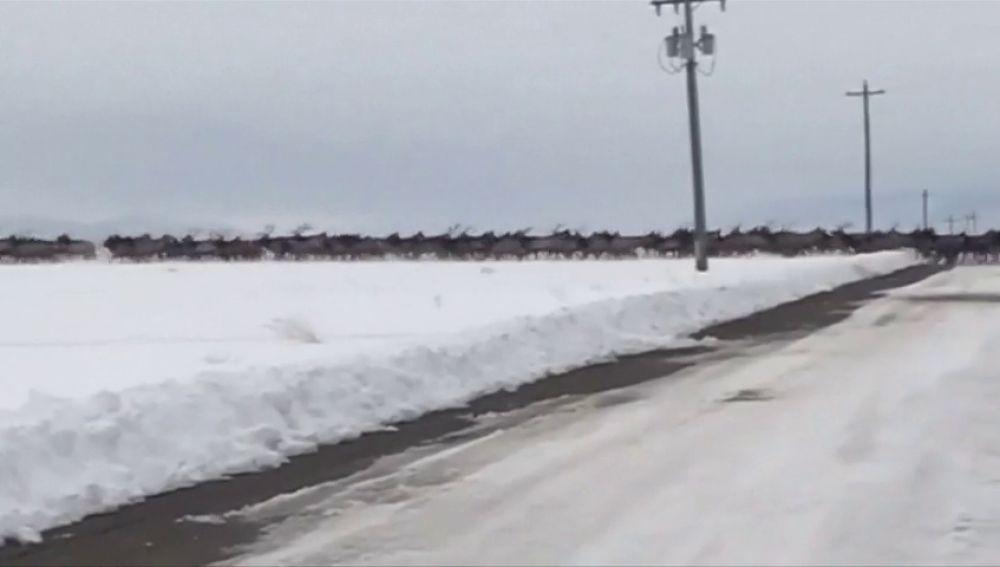 Las impresionantes imágenes de una manada de alces cruzando un río helado