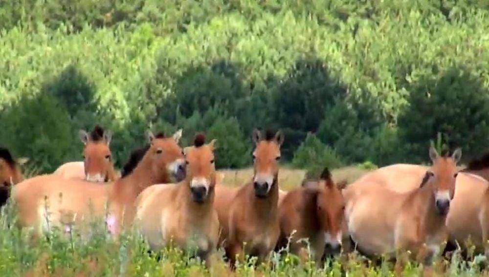 caballos en Chernóbil