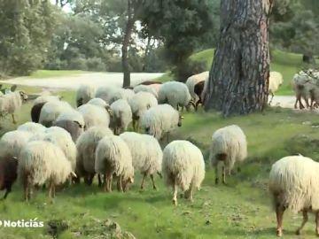 REEMPLAZO | Centenares de ovejas vuelven a pastar en la Casa de Campo para ayudar a la limpieza de los pastos y a la regeneración del suelo