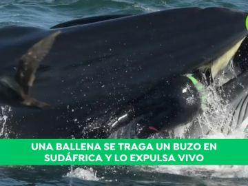 """El relato del buzo al que tragó y después escupió una ballena: """"Podía sentir la presión en mi cadera"""""""