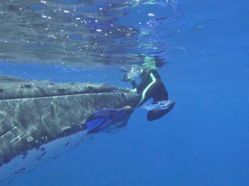 Ballena protege tiburón