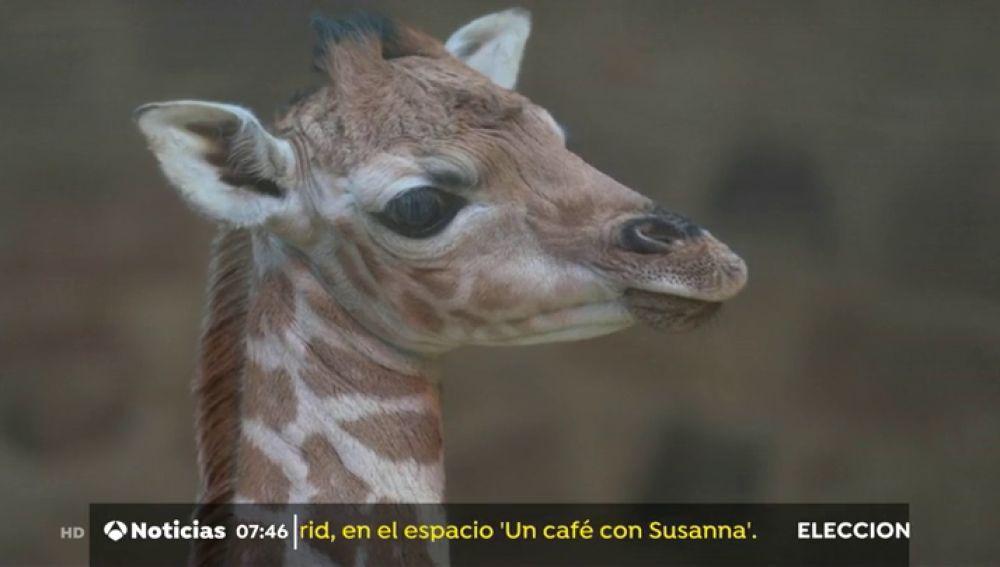 El zoológico de Chester celebra el nacimiento de una jirafa poco común