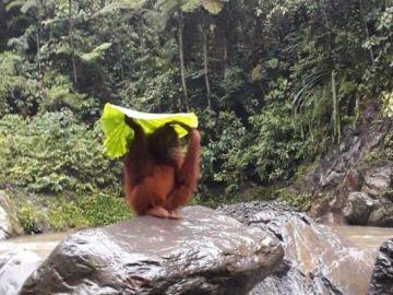 Orangután bajo la lluvia