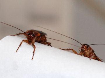 Nacen crecen y con CRISPR desaparecen cucarachas esteriles para acabar con las plagas