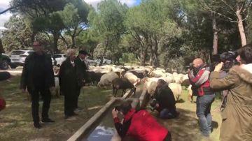 Carmena ovejas