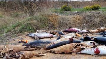 Algunos de los delfines que han aparecido muertos