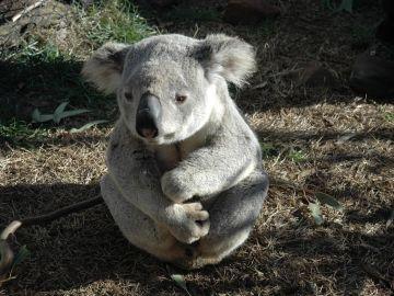 Koala (Archivo)