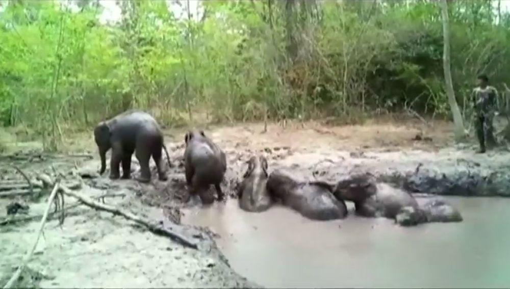 Así ha sido el rescate de seis elefantes bebés atrapados en un estanque
