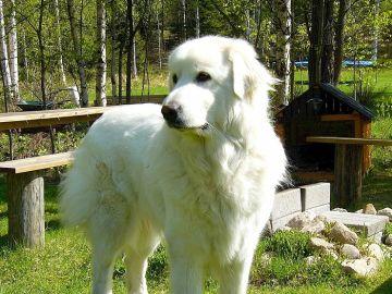 Perro raza Gran Pirineo