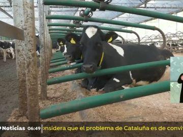 nueva vacas