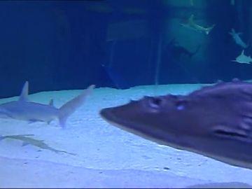 El Oceanogáfic de Valencia es el acuario de Europa con mayor número y especies de tiburón