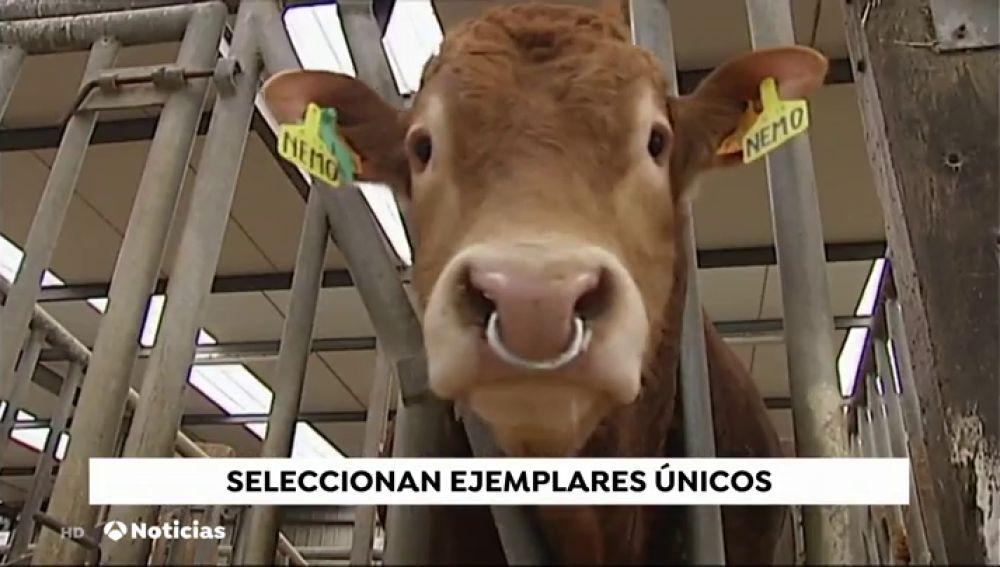 Un centro de Vizcaya selecciona ejemplares vacunos del futuro