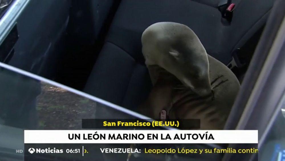 León marino en una autovía