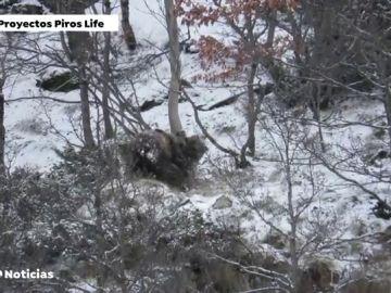 Graban a dos osos jugando en el Pirineo catalán