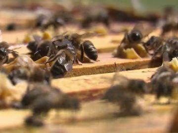 Las abejas de Leganés ganan el primer premio de miel clara de Madrid