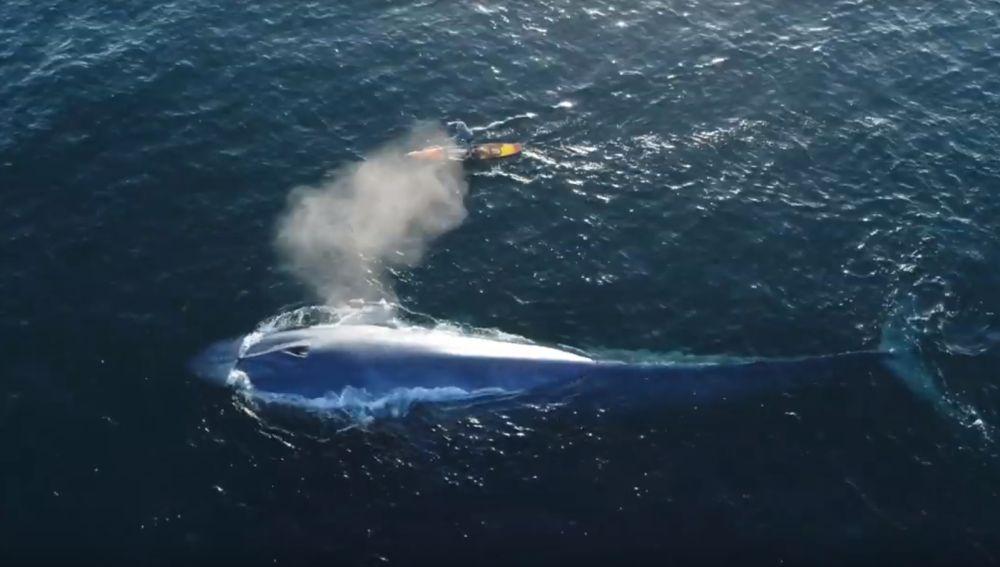 Surfea junto a una ballena