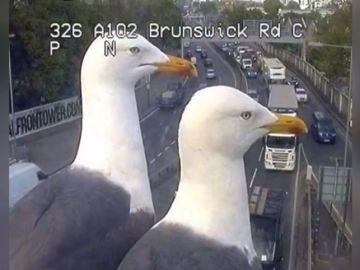 Dos gaviotas se convierten en la sensación de las redes tras 'trolear' las cámaras de tráfico de Londres