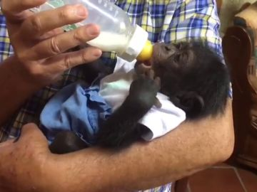 REEMPLAZO: Las tiernas imágenes del primer chimpancé sevillano