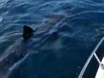 """Avistan un tiburón de grandes dimensiones en Galicia: """"Es como un barco"""""""