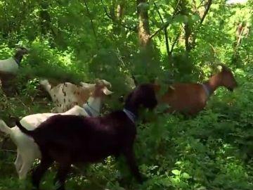 Las cabras en un parque de Nueva York