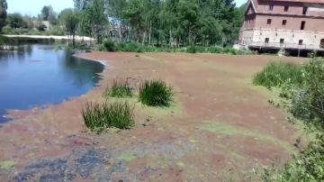 Unas plantas invasoras tiñen de color rojo el río Tormes