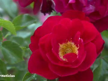 Así es la rosa más bonita del mundo