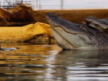 Caimán ataca a caimán