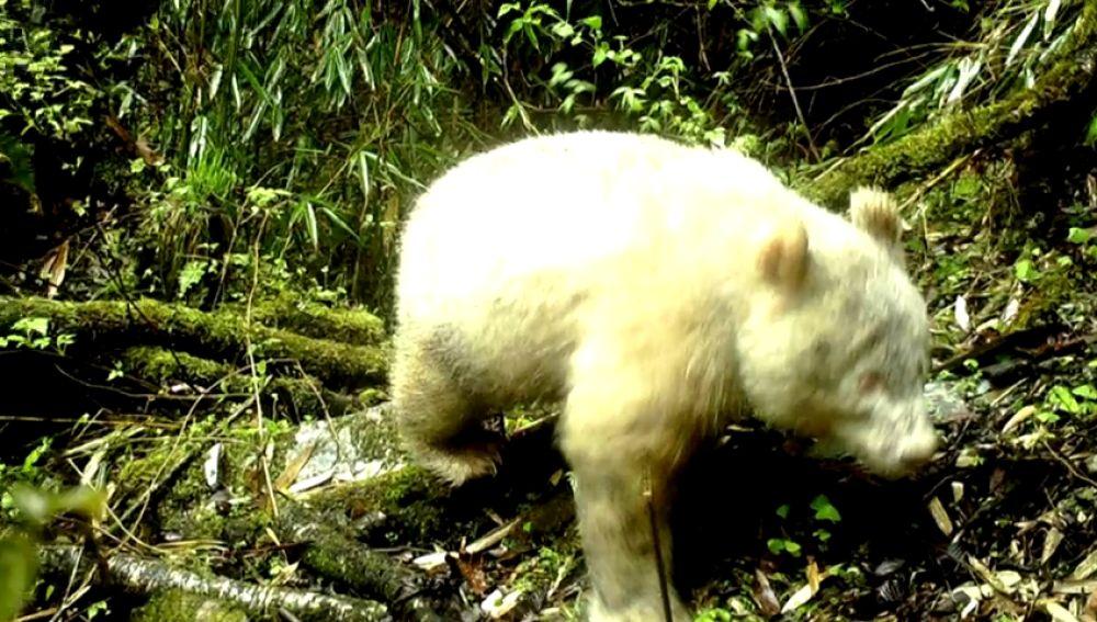 Fotografían por primera vez un panda albino en una reserva de China