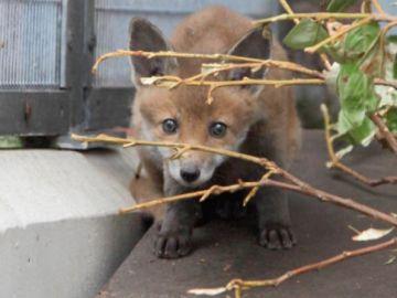 Rescatan a un zorro que tenía la cabeza metida en la tapa de un cubo