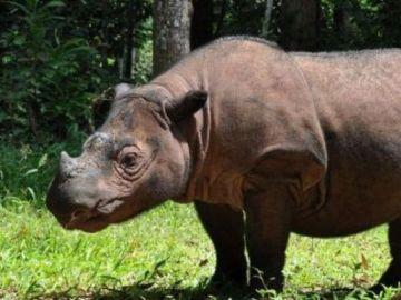 Muere el último rinoceronte de Sumatra macho de Malasia
