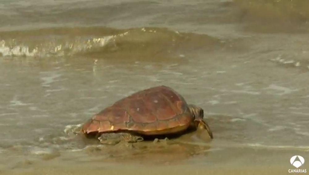 Sueltas de tortugas y limpieza de playas para proteger el mar