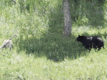Grulla peleando con un oso