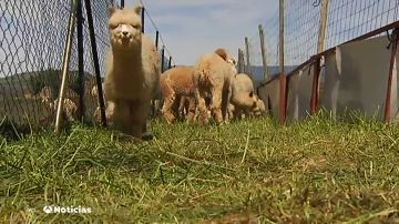 La fibra de la alpaca es la más cotizada del mundo y puede costar treinta veces más que la lana de la obeja merina