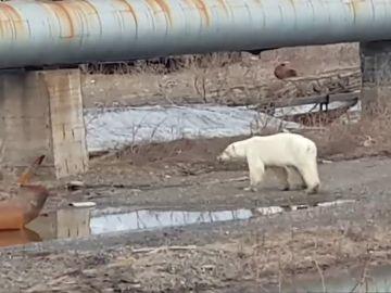 Una osa hambrienta y exhausta baja a una ciudad de Siberia en busca de comida